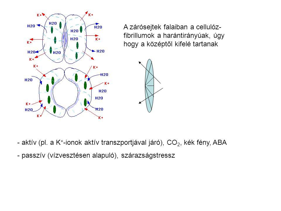 A zárósejtek falaiban a cellulóz- fibrillumok a harántirányúak, úgy hogy a középtől kifelé tartanak - aktív (pl. a K + -ionok aktív transzportjával já