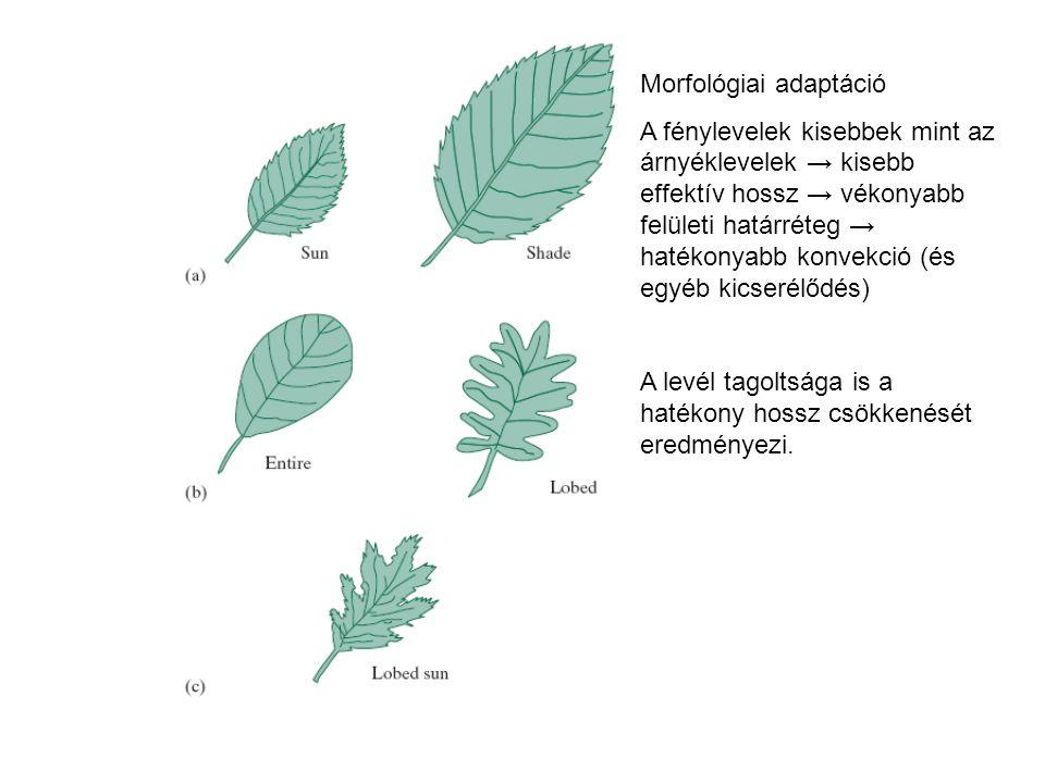 Morfológiai adaptáció A fénylevelek kisebbek mint az árnyéklevelek → kisebb effektív hossz → vékonyabb felületi határréteg → hatékonyabb konvekció (és