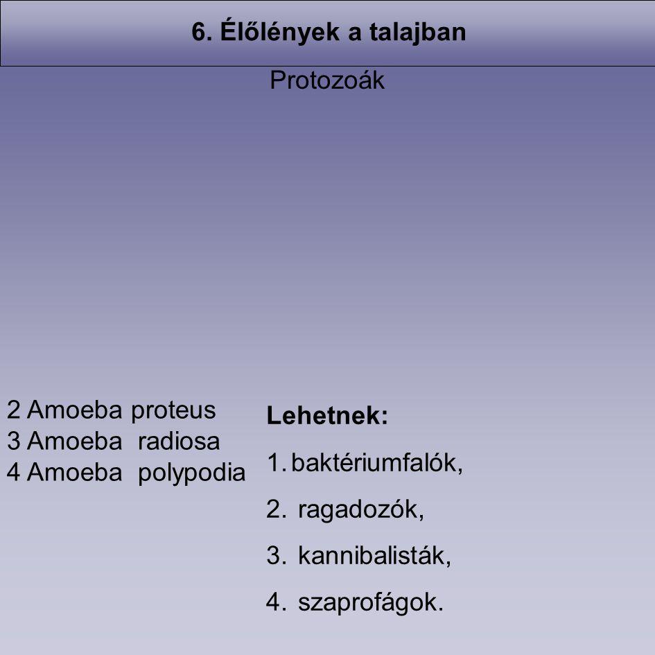 2 Amoeba proteus 3 Amoeba radiosa 4 Amoeba polypodia Protozoák Lehetnek: 1.baktériumfalók, 2. ragadozók, 3. kannibalisták, 4. szaprofágok. 6. Élőlénye