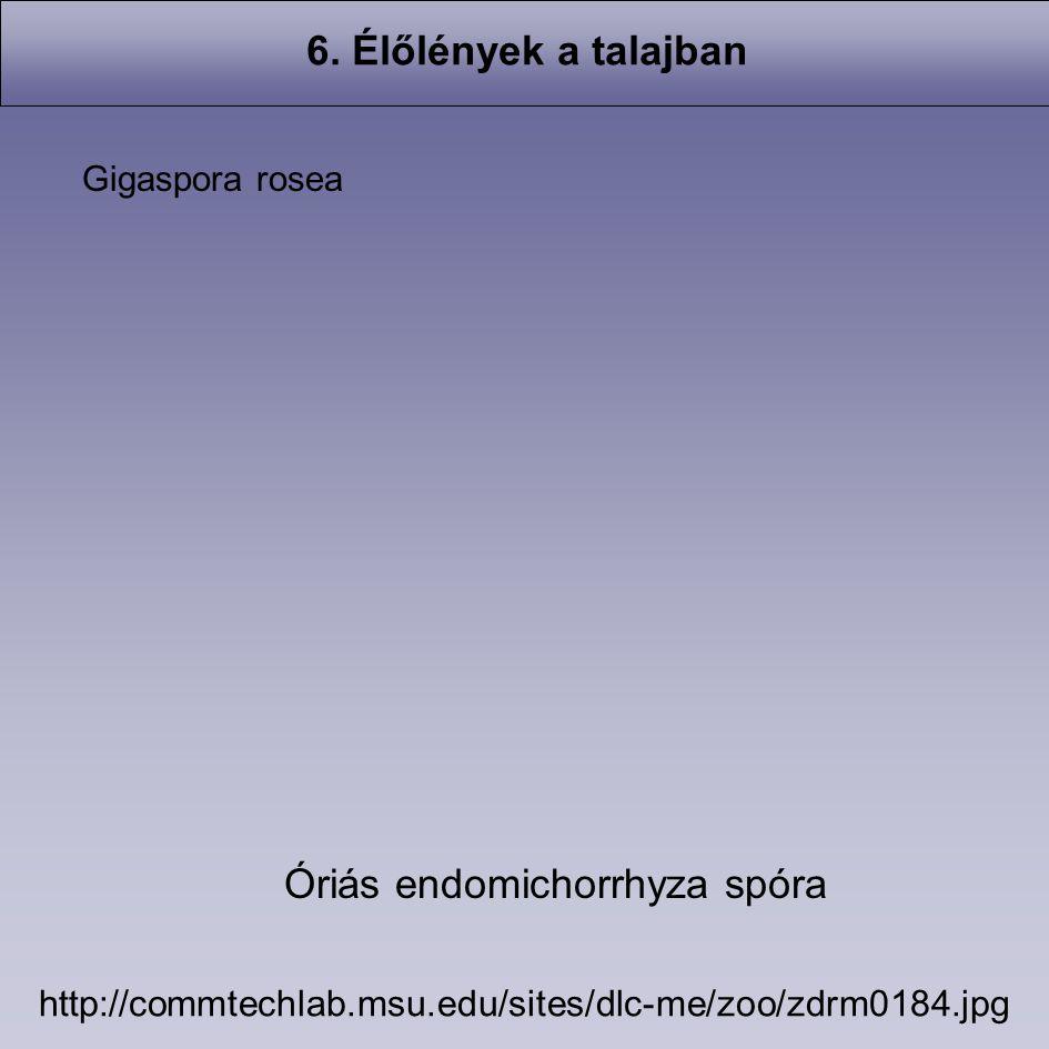 6. Élőlények a talajban http://commtechlab.msu.edu/sites/dlc-me/zoo/zdrm0184.jpg Gigaspora rosea Óriás endomichorrhyza spóra