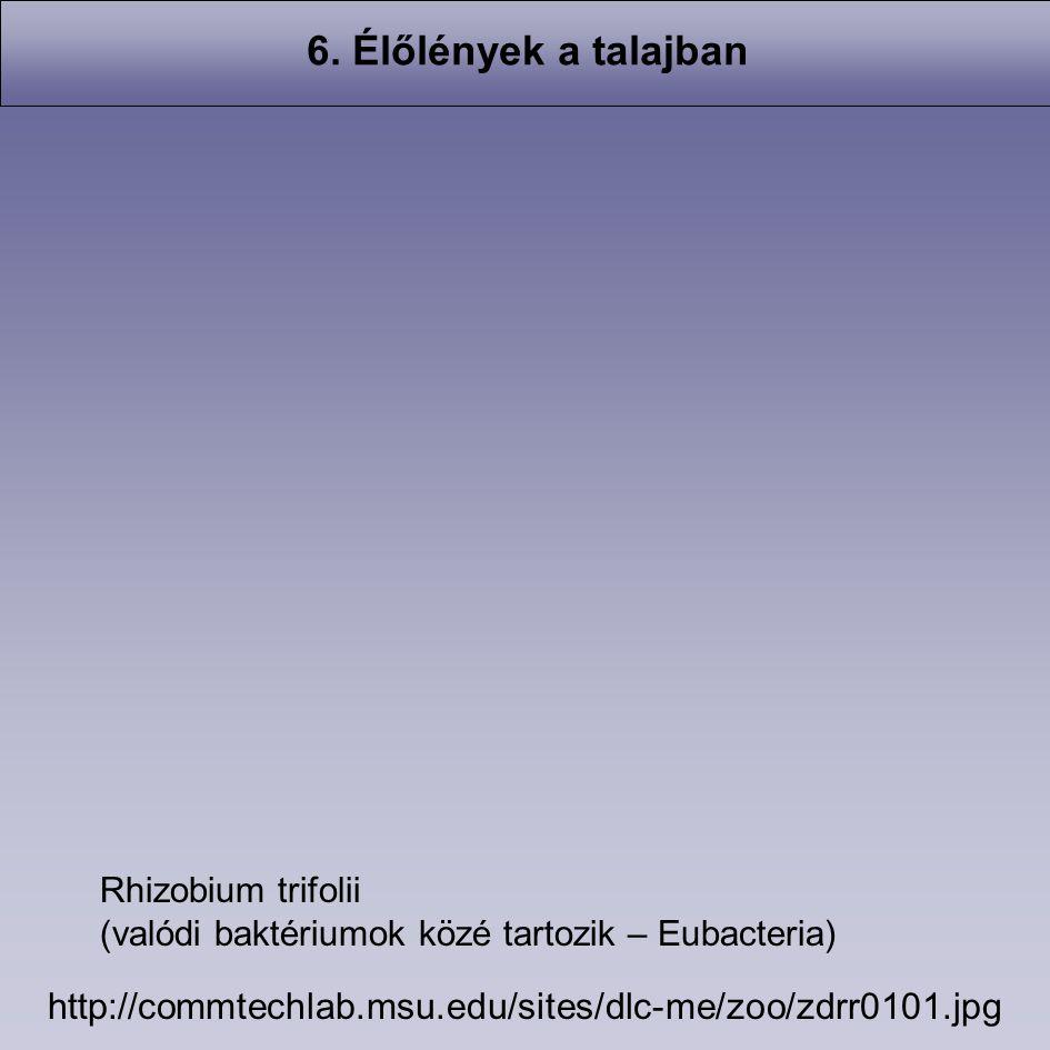 6. Élőlények a talajban http://commtechlab.msu.edu/sites/dlc-me/zoo/zdrr0101.jpg Rhizobium trifolii (valódi baktériumok közé tartozik – Eubacteria)