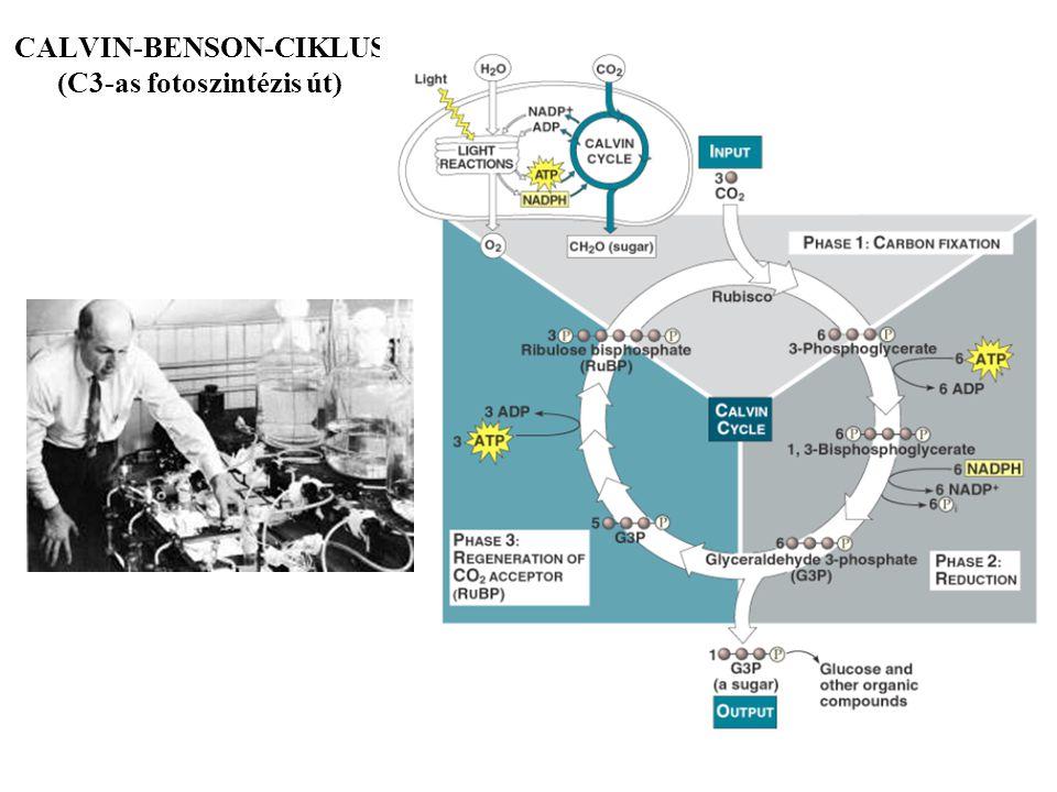 CALVIN-BENSON-CIKLUS (C3-as fotoszintézis út)