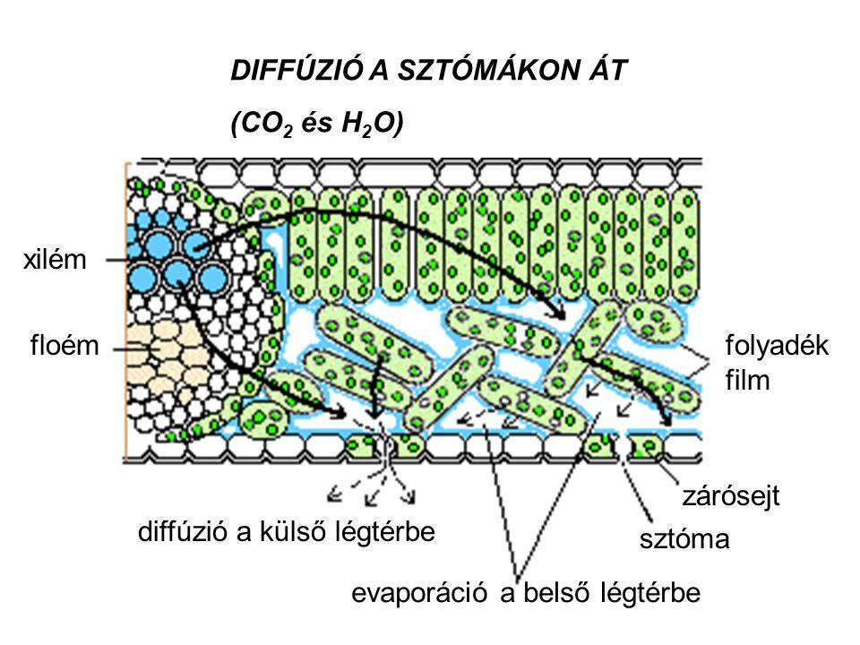 xilém floémfolyadék film diffúzió a külső légtérbe evaporáció a belső légtérbe sztóma zárósejt DIFFÚZIÓ A SZTÓMÁKON ÁT (CO 2 és H 2 O)