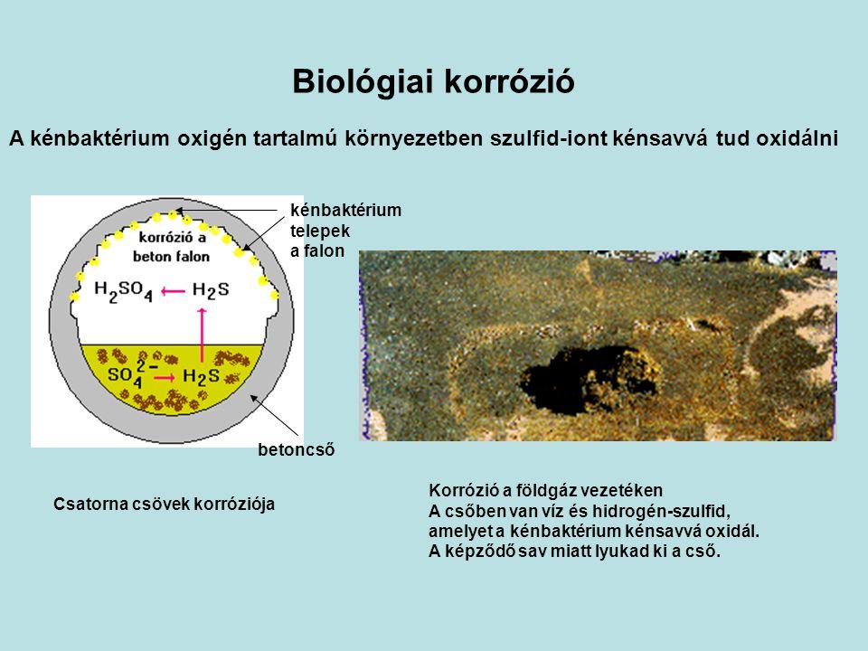 Biológiai korrózió A kénbaktérium oxigén tartalmú környezetben szulfid-iont kénsavvá tud oxidálni Csatorna csövek korróziója betoncső kénbaktérium telepek a falon Korrózió a földgáz vezetéken A csőben van víz és hidrogén-szulfid, amelyet a kénbaktérium kénsavvá oxidál.