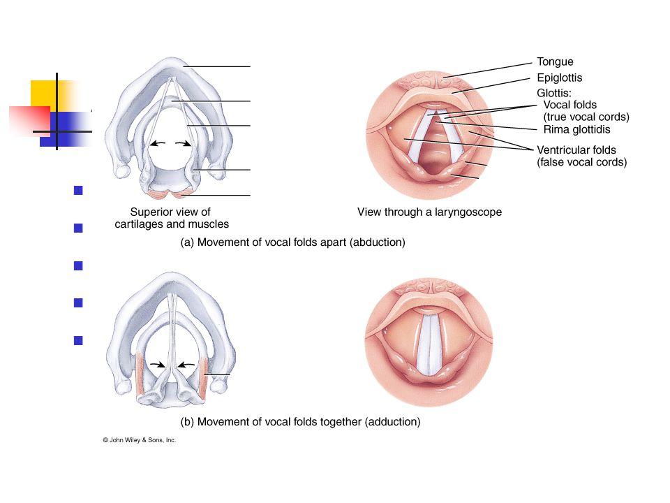 Alsó légutak Gége (larynx) Porcok Pajzs Gégefedő Gyűrű Kanna (2)