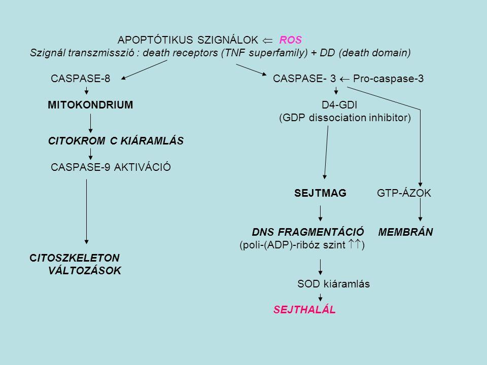 APOPTÓTIKUS SZIGNÁLOK  ROS Szignál transzmisszió : death receptors (TNF superfamily) + DD (death domain) CASPASE-8 CASPASE- 3  Pro-caspase-3 MITOKON
