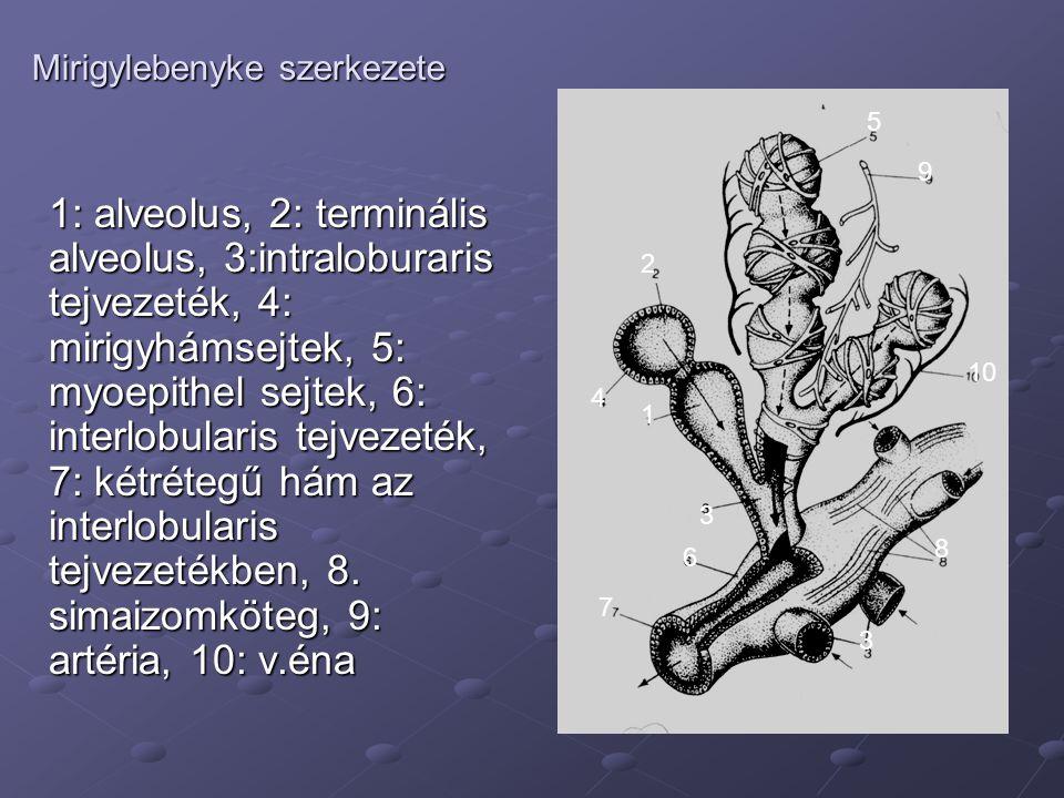 Mirigylebenyke szerkezete 1: alveolus, 2: terminális alveolus, 3:intraloburaris tejvezeték, 4: mirigyhámsejtek, 5: myoepithel sejtek, 6: interlobulari