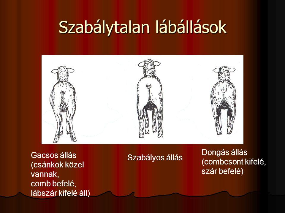 Szabálytalan lábállások Gacsos állás (csánkok közel vannak, comb befelé, lábszár kifelé áll) Szabályos állás Dongás állás (combcsont kifelé, szár befelé)
