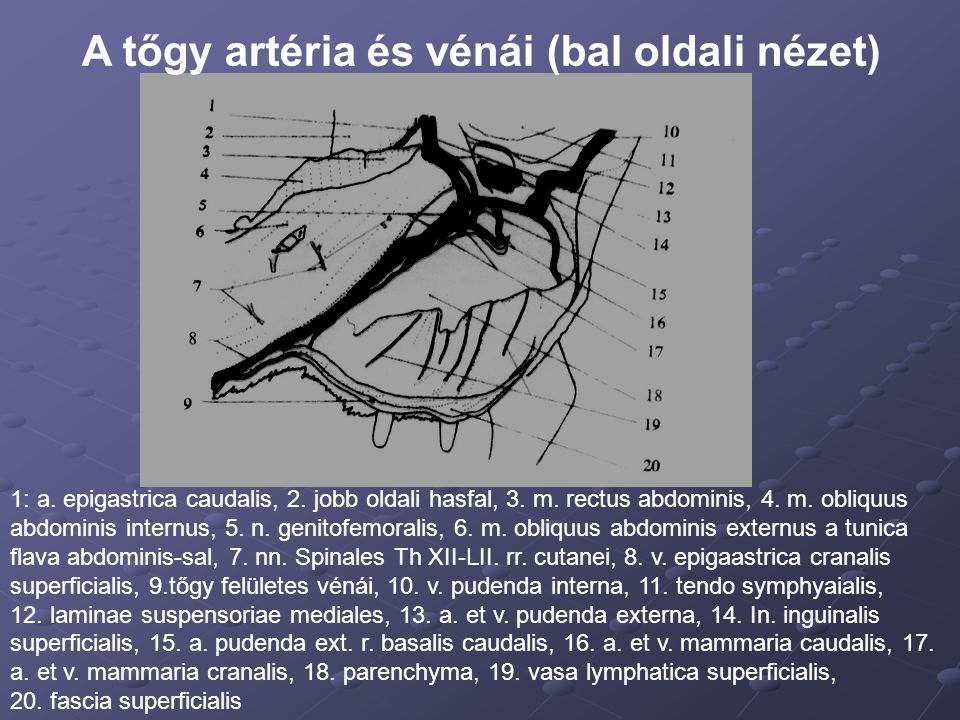 A tőgy artéria és vénái (bal oldali nézet) 1: a. epigastrica caudalis, 2. jobb oldali hasfal, 3. m. rectus abdominis, 4. m. obliquus abdominis internu