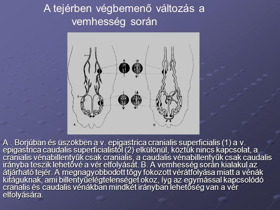 A. Borjúban és üszökben a v. epigastrica cranialis superficialis (1) a v. epigastrica caudalis superficialistól (2) elkülönül, köztük nincs kapcsolat,