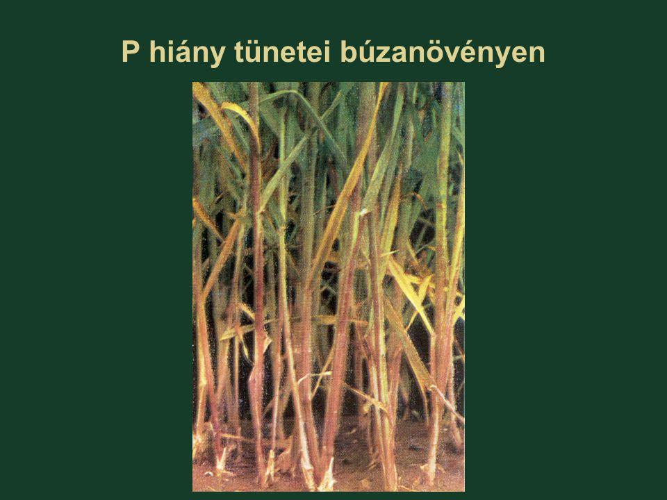 P hiány tünetei búzanövényen