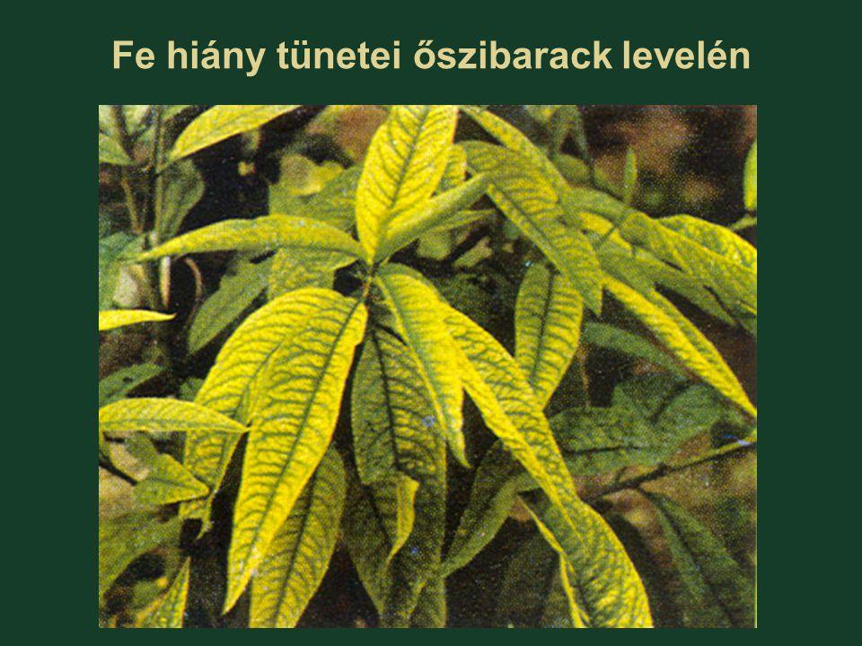Fe hiány tünetei őszibarack levelén