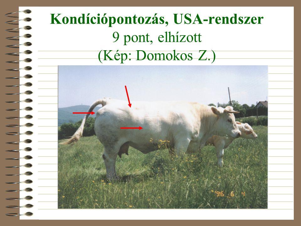 Kondíciópontozás, USA-rendszer 9 pont, elhízott (Kép: Domokos Z.)