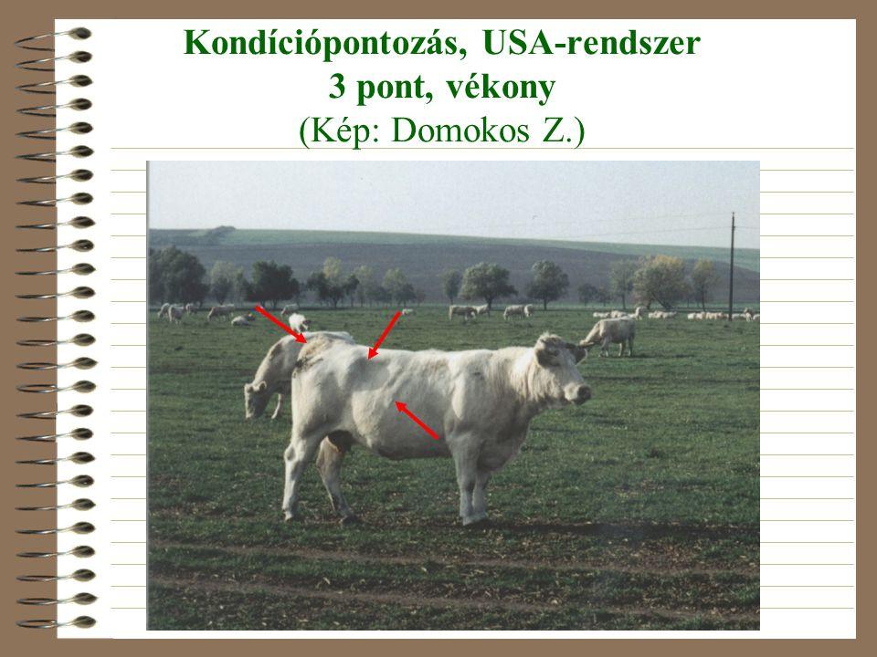 Kondíciópontozás, USA-rendszer 3 pont, vékony (Kép: Domokos Z.)
