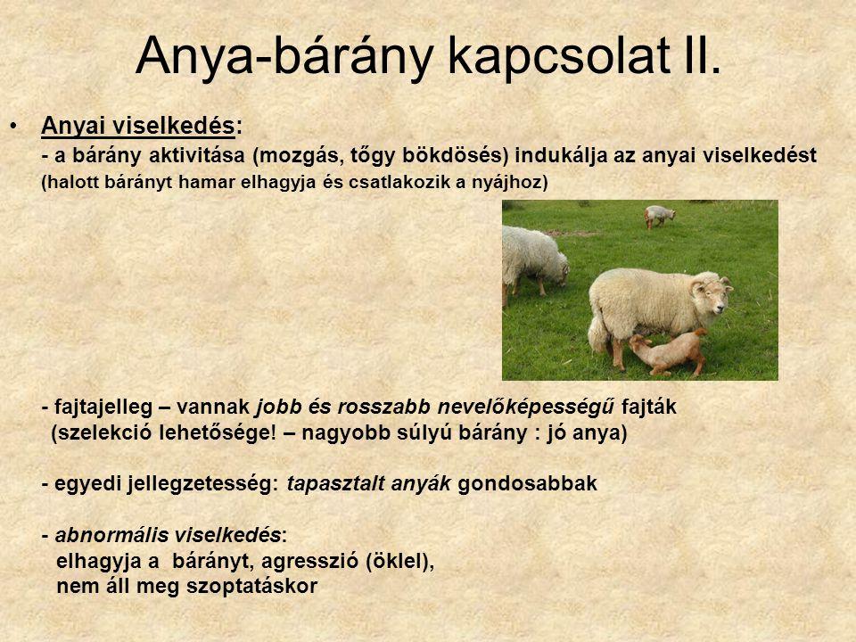 Anya-bárány kapcsolat II. Anyai viselkedés: - a bárány aktivitása (mozgás, tőgy bökdösés) indukálja az anyai viselkedést (halott bárányt hamar elhagyj