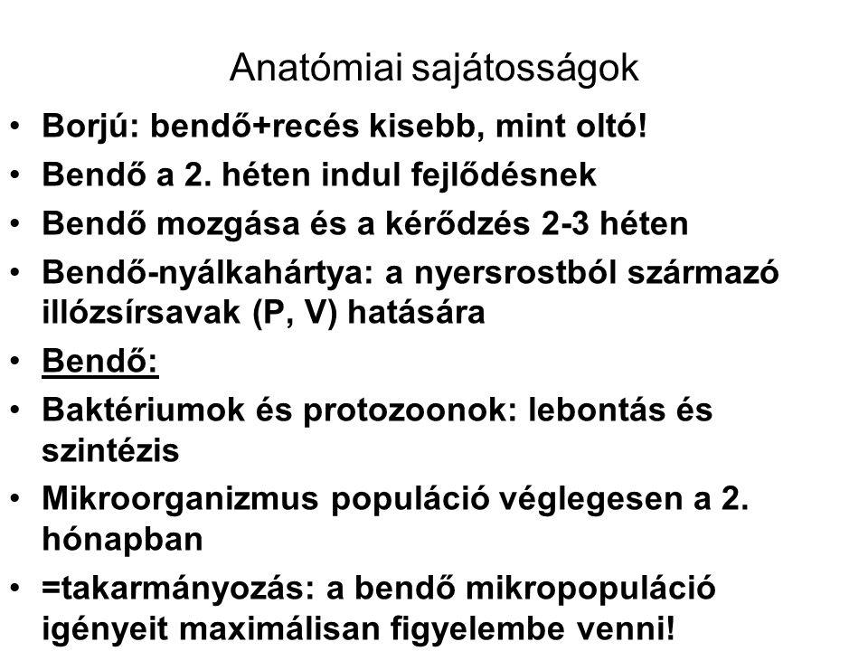Anatómiai sajátosságok Borjú: bendő+recés kisebb, mint oltó.