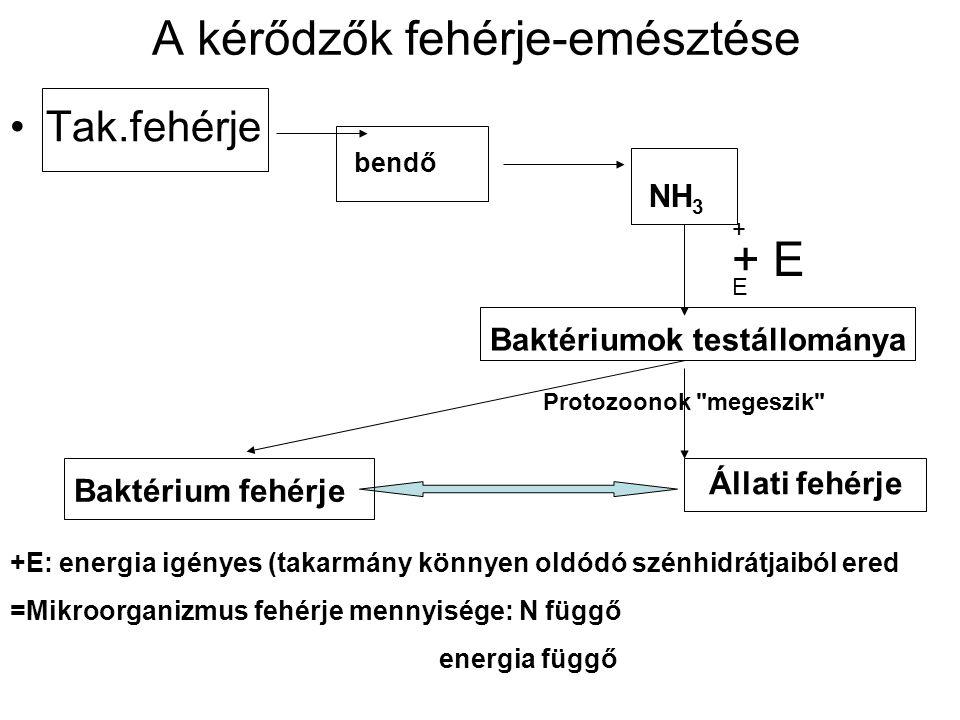 A kérődzők fehérje-emésztése Tak.fehérje bendő NH 3 Baktériumok testállománya Állati fehérje Baktérium fehérje + E+ E + E Protozoonok megeszik +E: energia igényes (takarmány könnyen oldódó szénhidrátjaiból ered =Mikroorganizmus fehérje mennyisége: N függő energia függő