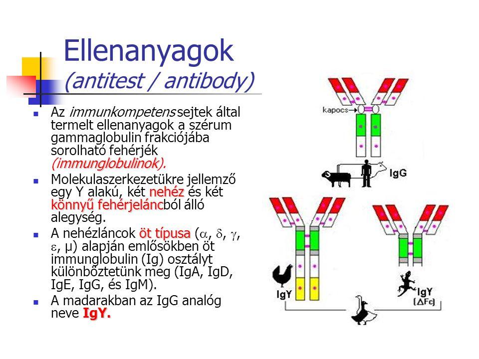 Ellenanyagok (antitest / antibody) mmunglobulinok Az immunkompetens sejtek által termelt ellenanyagok a szérum gammaglobulin frakciójába sorolható fehérjék (immunglobulinok).