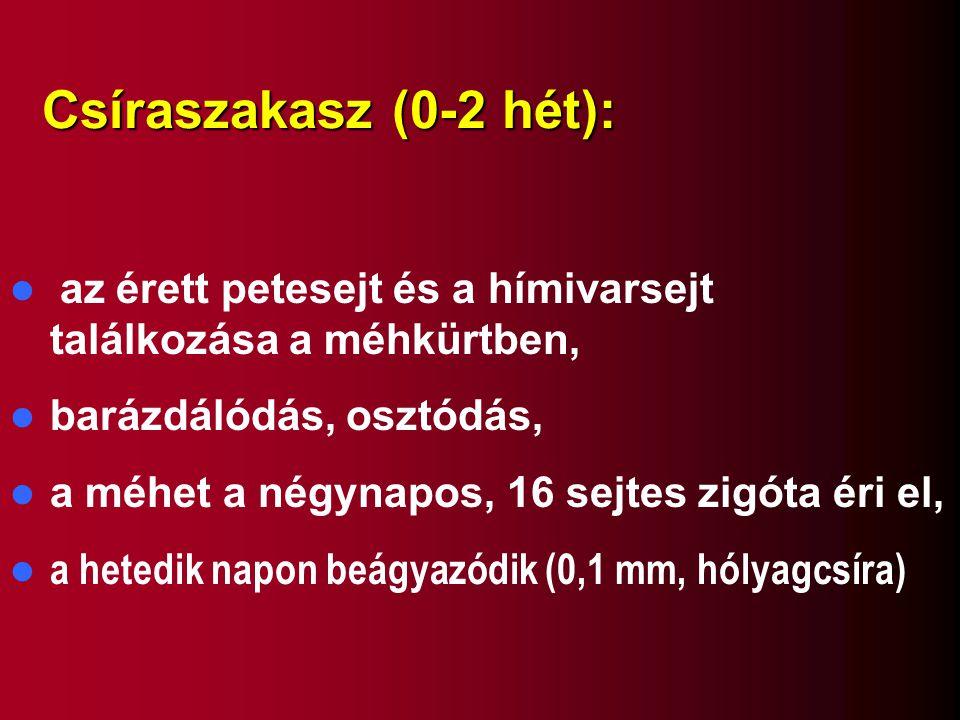 Csíraszakasz (0-2 hét): az érett petesejt és a hímivarsejt találkozása a méhkürtben, barázdálódás, osztódás, a méhet a négynapos, 16 sejtes zigóta éri