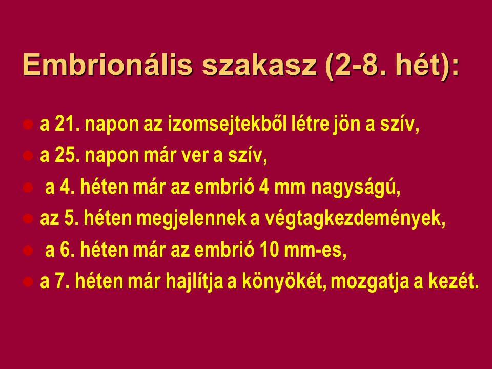 A fötális (magzati) szakasz (8-38.hét): a 8. héten a magzat már az újszülöttre hasonlít, a 12.