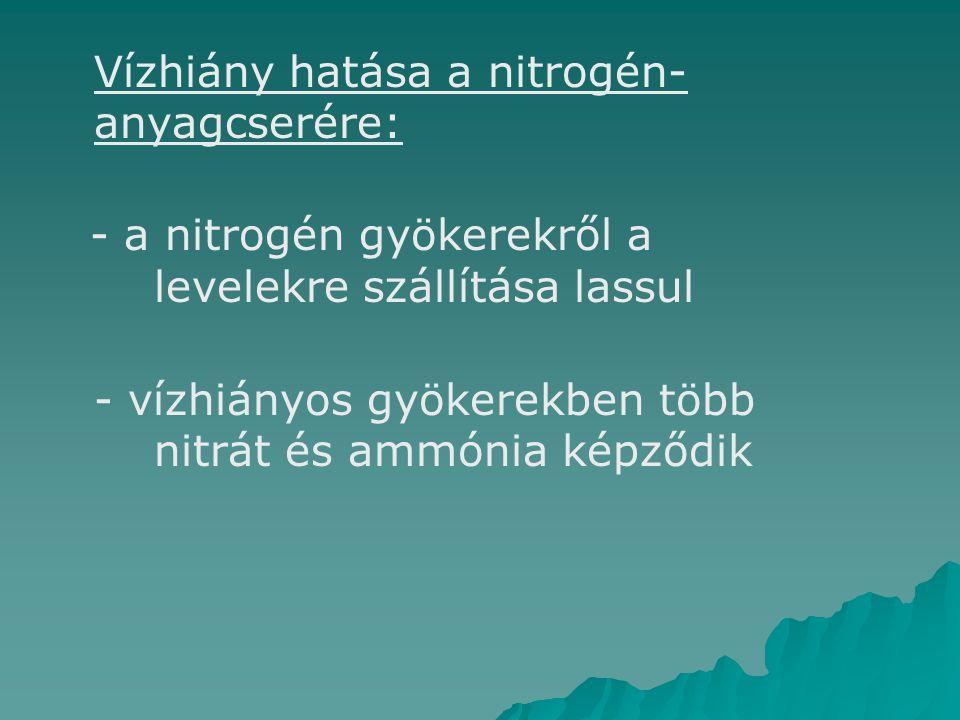 Vízhiány hatása a nitrogén- anyagcserére: - a nitrogén gyökerekről a levelekre szállítása lassul   - vízhiányos gyökerekben több nitrát és ammónia képződik
