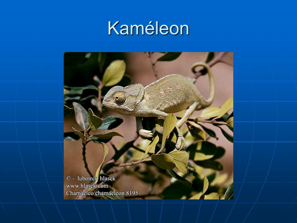Kaméleon