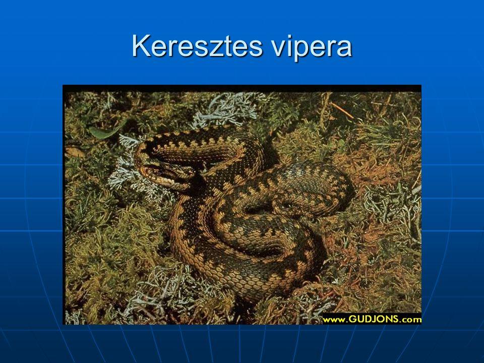 Keresztes vipera
