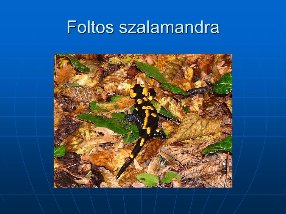 Foltos szalamandra