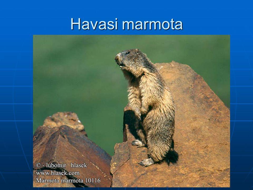 Havasi marmota