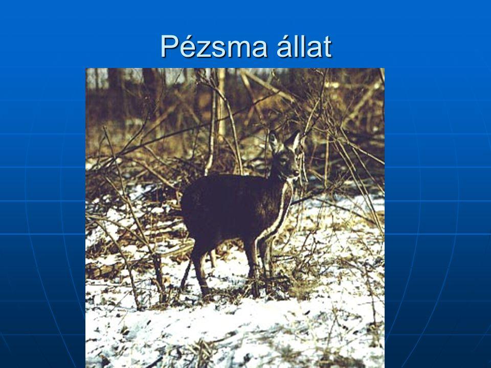 Pézsma állat