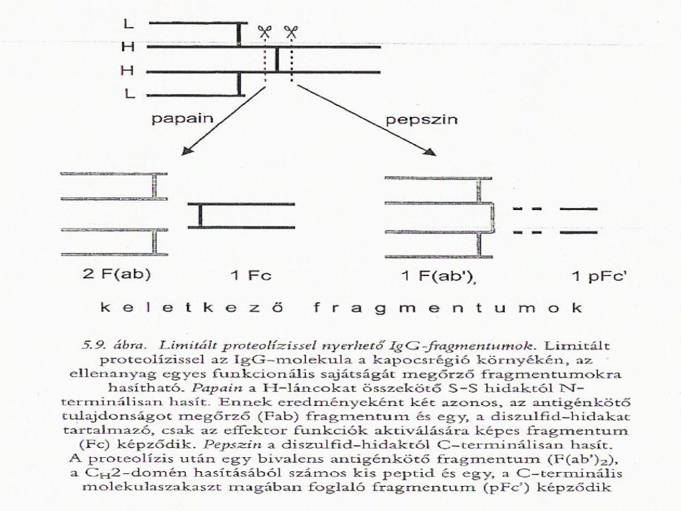 Ig-k proteolitikus hasítása Az Ig-molekulák különböző protolitikus enzimek segítségével jellegzetes, a molekula egyes funkcionális sajátságait megőrző fragmentumokra hasíthatók!
