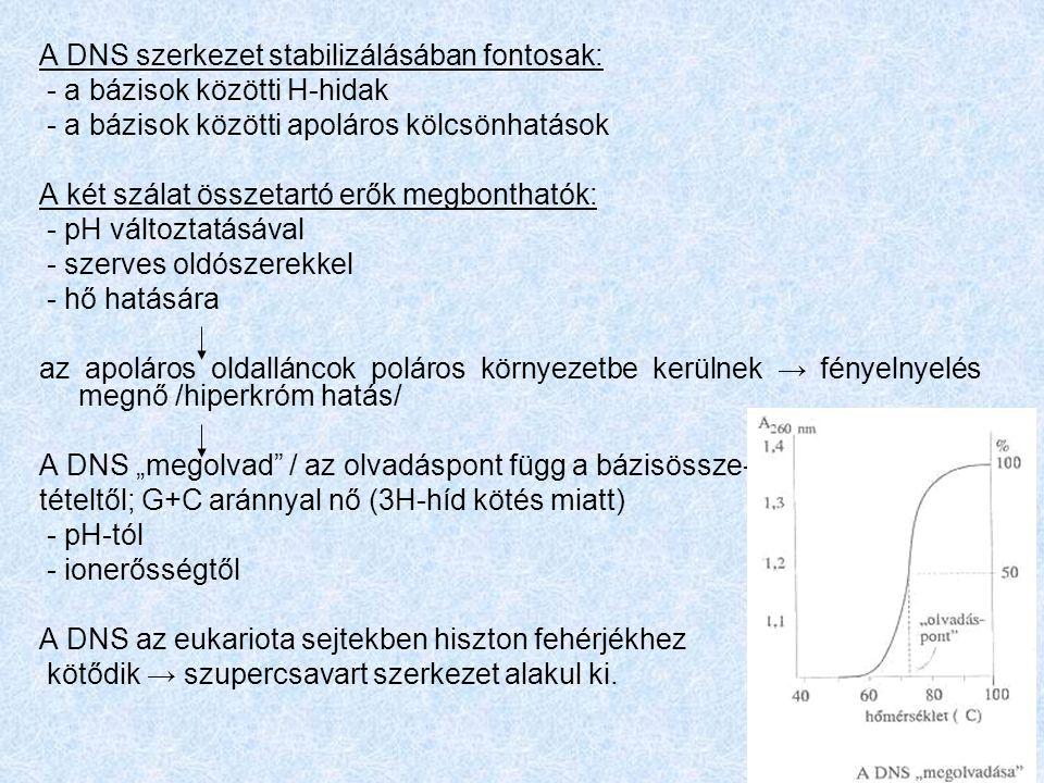 """A DNS szerkezet stabilizálásában fontosak: - a bázisok közötti H-hidak - a bázisok közötti apoláros kölcsönhatások A két szálat összetartó erők megbonthatók: - pH változtatásával - szerves oldószerekkel - hő hatására az apoláros oldalláncok poláros környezetbe kerülnek → fényelnyelés megnő /hiperkróm hatás/ A DNS """"megolvad / az olvadáspont függ a bázisössze- tételtől; G+C aránnyal nő (3H-híd kötés miatt) - pH-tól - ionerősségtől A DNS az eukariota sejtekben hiszton fehérjékhez kötődik → szupercsavart szerkezet alakul ki."""