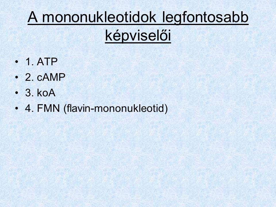 A mononukleotidok legfontosabb képviselői 1. ATP 2. cAMP 3. koA 4. FMN (flavin-mononukleotid)