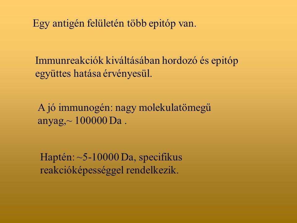 Egy antigén felületén több epitóp van. Immunreakciók kiváltásában hordozó és epitóp együttes hatása érvényesül. A jó immunogén: nagy molekulatömegű an
