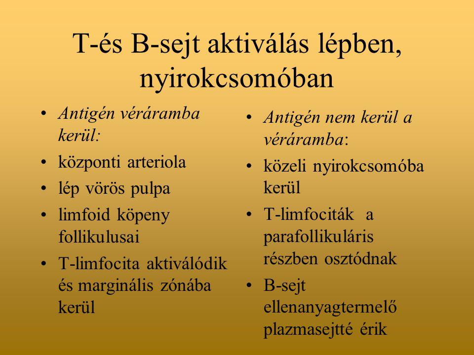 T-és B-sejt aktiválás lépben, nyirokcsomóban Antigén véráramba kerül: központi arteriola lép vörös pulpa limfoid köpeny follikulusai T-limfocita aktiválódik és marginális zónába kerül Antigén nem kerül a véráramba: közeli nyirokcsomóba kerül T-limfociták a parafollikuláris részben osztódnak B-sejt ellenanyagtermelő plazmasejtté érik