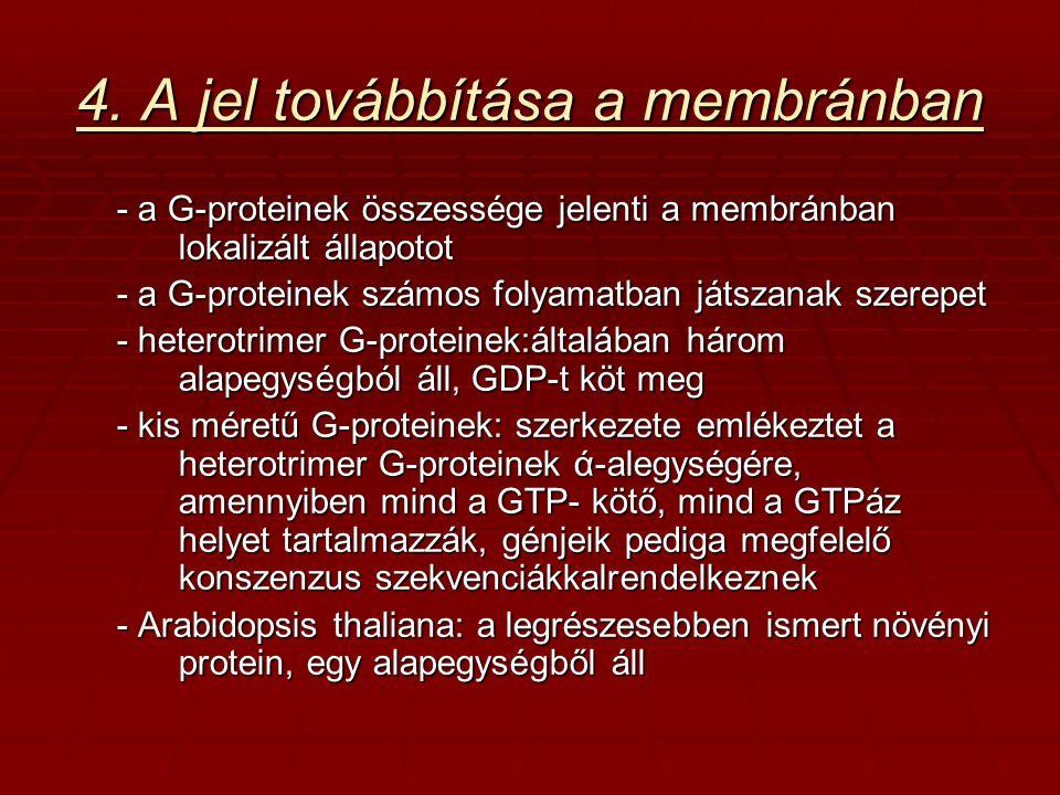 4. A jel továbbítása a membránban - a G-proteinek összessége jelenti a membránban lokalizált állapotot - a G-proteinek számos folyamatban játszanak sz