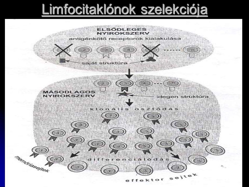Limfocitaklónok szelekciója