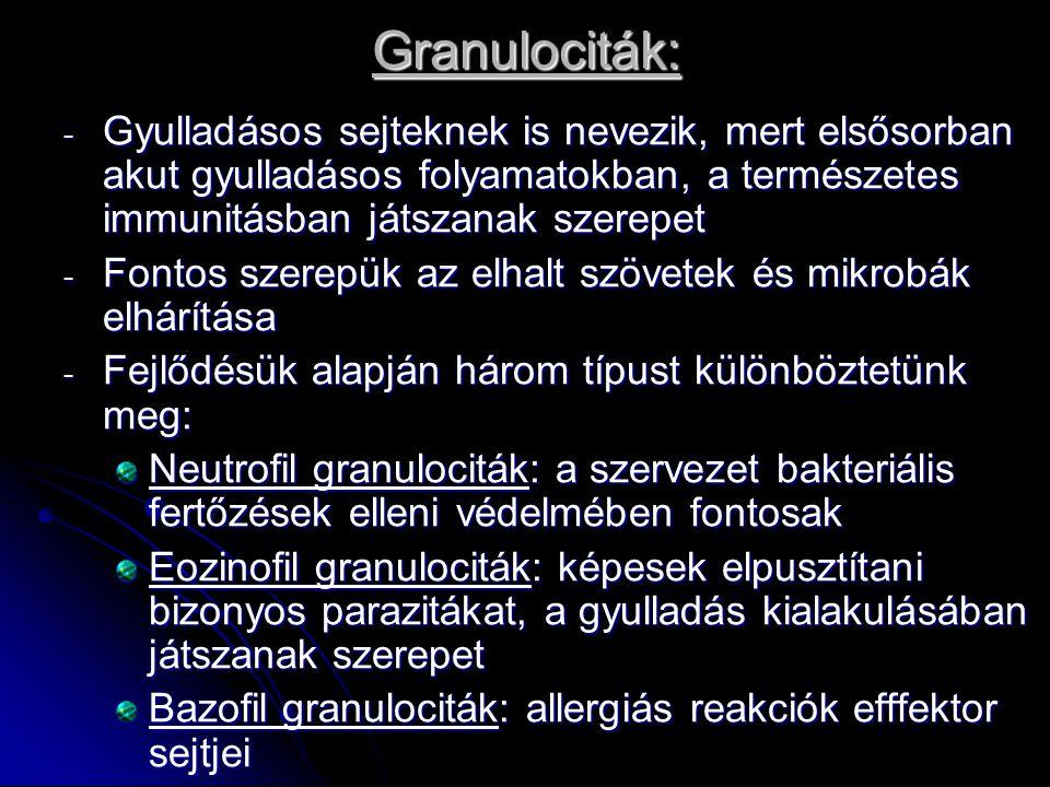 Granulociták: - Gyulladásos sejteknek is nevezik, mert elsősorban akut gyulladásos folyamatokban, a természetes immunitásban játszanak szerepet - Fontos szerepük az elhalt szövetek és mikrobák elhárítása - Fejlődésük alapján három típust különböztetünk meg: Neutrofil granulociták: a szervezet bakteriális fertőzések elleni védelmében fontosak Eozinofil granulociták: képesek elpusztítani bizonyos parazitákat, a gyulladás kialakulásában játszanak szerepet Bazofil granulociták: allergiás reakciók efffektor sejtjei