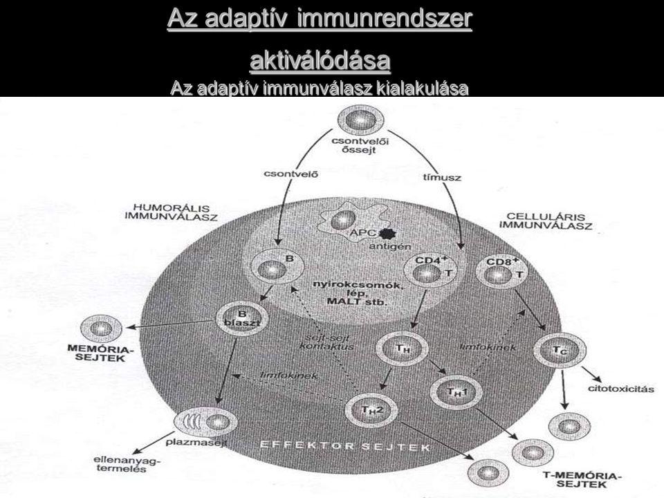 Adaptív immunválasz fázisai 1.