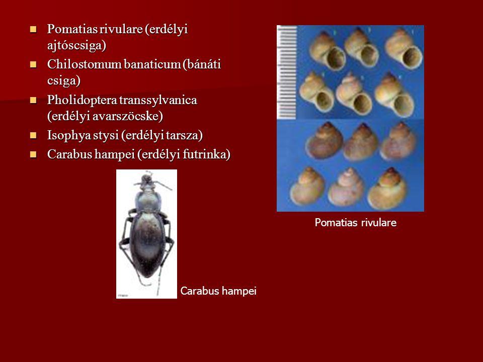 Pomatias rivulare (erdélyi ajtóscsiga) Pomatias rivulare (erdélyi ajtóscsiga) Chilostomum banaticum (bánáti csiga) Chilostomum banaticum (bánáti csiga