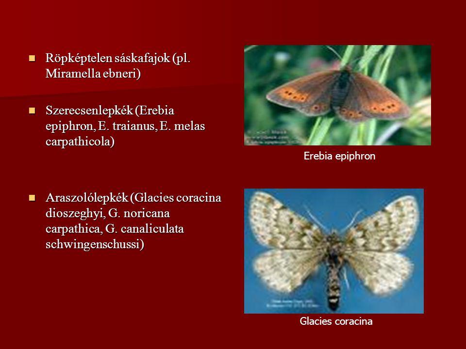Röpképtelen sáskafajok (pl. Miramella ebneri) Röpképtelen sáskafajok (pl. Miramella ebneri) Szerecsenlepkék (Erebia epiphron, E. traianus, E. melas ca