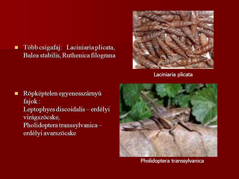 Több csigafaj: Laciniaria plicata, Balea stabilis, Ruthenica filograna Több csigafaj: Laciniaria plicata, Balea stabilis, Ruthenica filograna Röpképte
