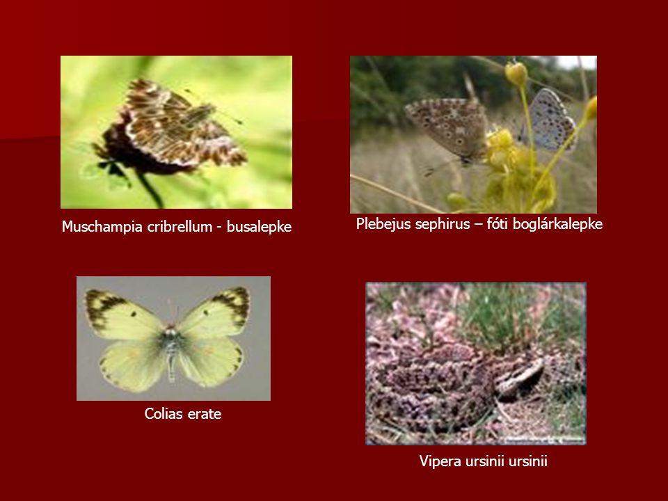 Muschampia cribrellum - busalepke Plebejus sephirus – fóti boglárkalepke Colias erate Vipera ursinii ursinii