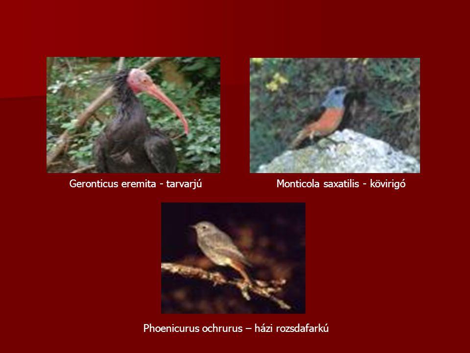 Geronticus eremita - tarvarjúMonticola saxatilis - kövirigó Phoenicurus ochrurus – házi rozsdafarkú