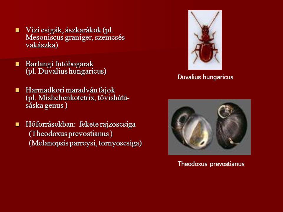 Vízi csigák, ászkarákok (pl. Mesoniscus graniger, szemcsés vakászka) Vízi csigák, ászkarákok (pl. Mesoniscus graniger, szemcsés vakászka) Barlangi fut