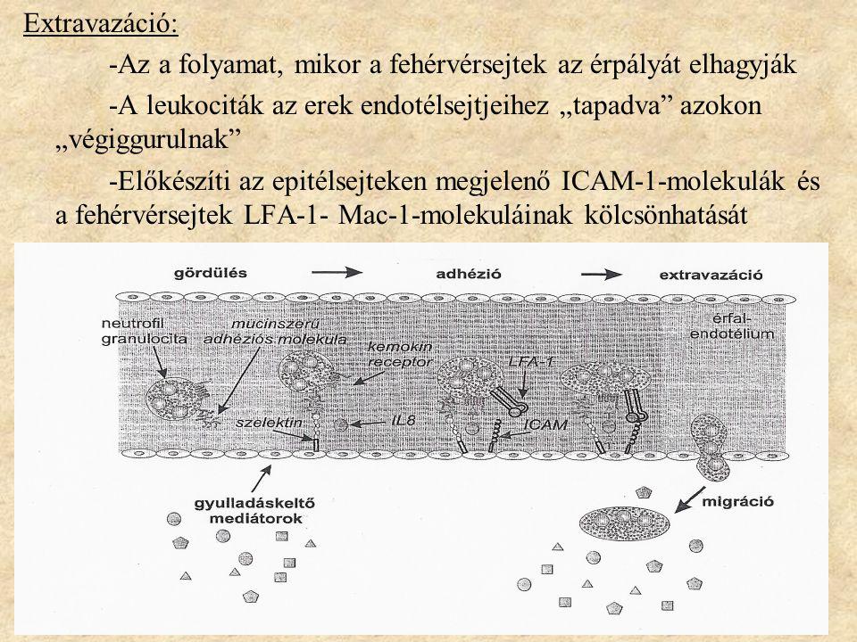 """Extravazáció: -Az a folyamat, mikor a fehérvérsejtek az érpályát elhagyják -A leukociták az erek endotélsejtjeihez """"tapadva azokon """"végiggurulnak -Előkészíti az epitélsejteken megjelenő ICAM-1-molekulák és a fehérvérsejtek LFA-1- Mac-1-molekuláinak kölcsönhatását"""