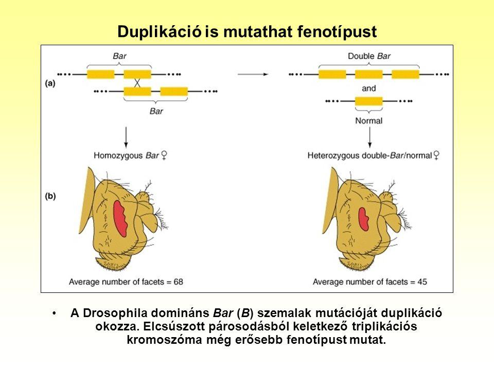 Duplikáció is mutathat fenotípust A Drosophila domináns Bar (B) szemalak mutációját duplikáció okozza. Elcsúszott párosodásból keletkező triplikációs