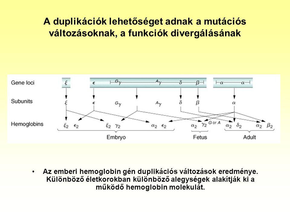 A duplikációk lehetőséget adnak a mutációs változásoknak, a funkciók divergálásának Az emberi hemoglobin gén duplikációs változások eredménye. Különbö