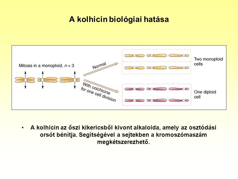 A kolhicin biológiai hatása A kolhicin az őszi kikericsből kivont alkaloida, amely az osztódási orsót bénítja. Segítségével a sejtekben a kromoszómasz