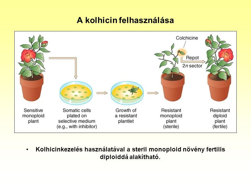A kolhicin felhasználása Kolhicinkezelés használatával a steril monoploid növény fertilis diploiddá alakítható.